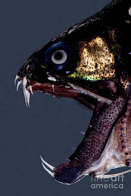 Of Ocean Creatures Photograph - Dragonfish Mouth by Dant� Fenolio