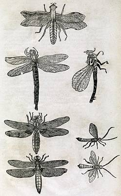 Dragonflies, 17th Century Artwork Art Print by Middle Temple Library