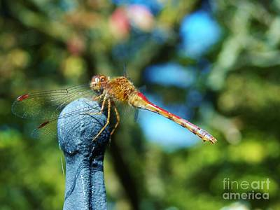 Photograph - Dragonfly 1 by Judy Via-Wolff