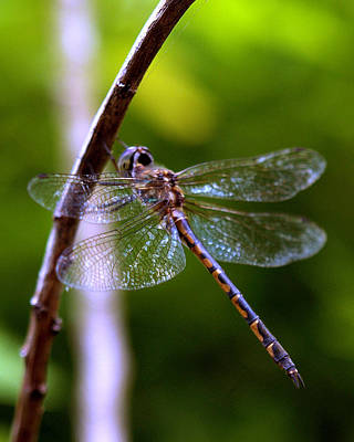 Photograph - Dragonfly 4 by Elisabeth Dubois