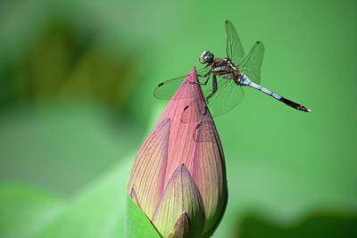 Focus On Foreground Photograph - Dragonfly And Lotus Bud by masahiro Makino