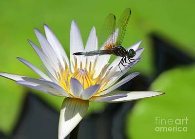 Dragon Fly Photograph - Dragonfly And The Water Lily by Sabrina L Ryan
