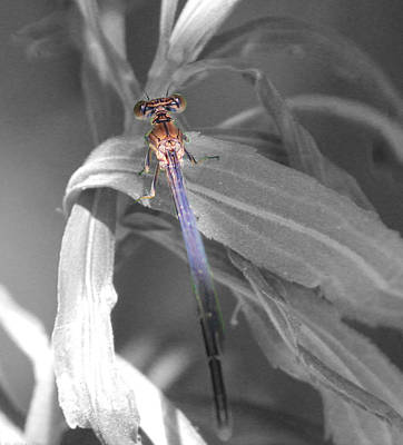Dragonfly Bw With Color Art Print by Peter Ciro