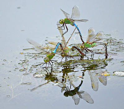 Dragonflies Mating Photograph - Dragonfly Cheerleading Squad by Fraida Gutovich