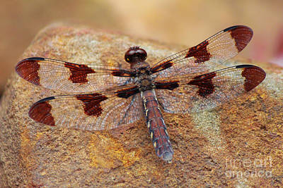 Photograph - Dragonfly Chillin On A Rock by Lee Dos Santos