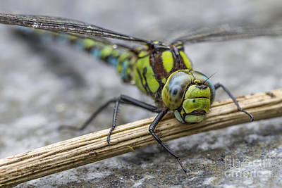 Photograph - Dragonfly by Clare Bambers
