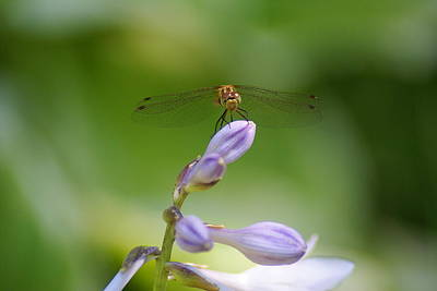 Photograph - Dragonfly Connection by Ben Upham III