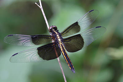 Photograph - Dragonfly by Daniel Reed