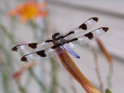 Dragonflys Photograph - Dragonfly by Dave Dresser