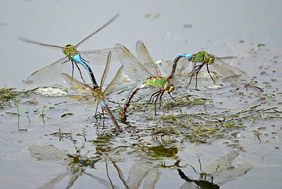 Dragonflies Mating Photograph - Dragonfly Days by Fraida Gutovich