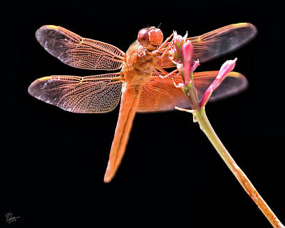 Photograph - Dragonfly by Endre Balogh