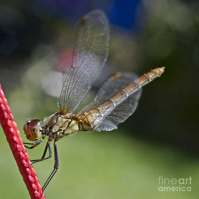 Dragonfly Art Print by Heiko Koehrer-Wagner