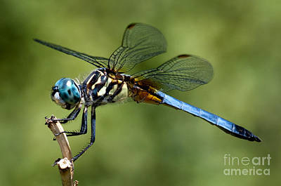 Photograph - Dragonfly by Jane Brack