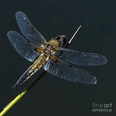 Photograph - Dragonfly by Jorgen Norgaard