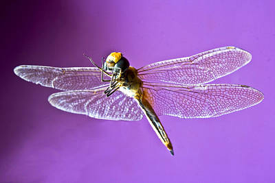 Dragonfly Art Print by Kantilal Patel