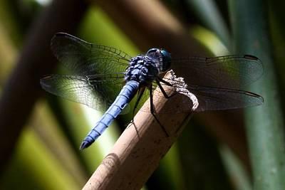 Macro Dragonfly Photograph - Dragonfly by KC Moffatt