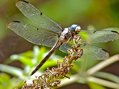 Photograph - Dragonfly Lands by Eve Spring