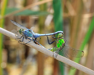 Dragonflies Photograph - Dragonfly Love by Everet Regal