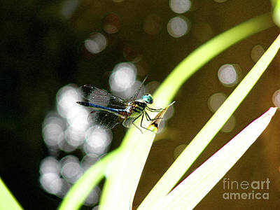 Photograph - Dragonfly by Mark Holbrook