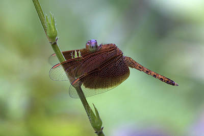 Photograph - Dragonfly On A Leaf by Zoe Ferrie
