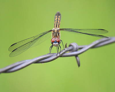 Art Print featuring the photograph Dragonfly On Barbed Wire by Penny Meyers