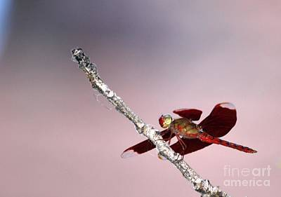 Photograph - Dragonfly On A Pastel Sky by Nola Lee Kelsey