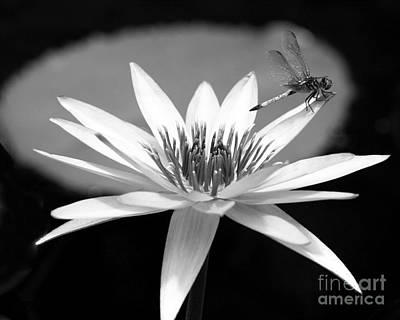 Dragonfly On The Water Lily Art Print by Sabrina L Ryan