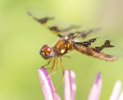 Dragonfly On Tip Of Cornflower Art Print by Daphne Sampson