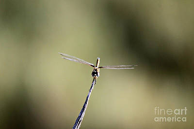 Photograph - Dragonfly With Goggles by Shawn Naranjo