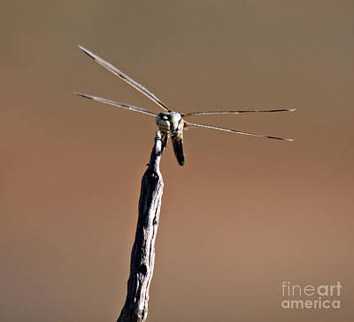 Photograph - Dragonfly With Mustache by Shawn Naranjo