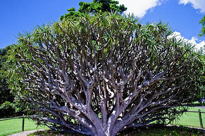 Photograph - Dragon's Blood Tree Sydney Royal Botanic Garden by Harry Strharsky