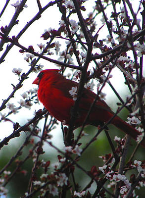 Photograph - Dramatic Cardinal by Judy Wanamaker