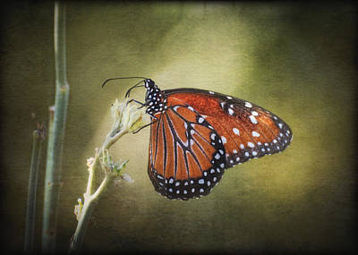 Queen Butterfly Photograph - Dream A Little Dream by Saija  Lehtonen