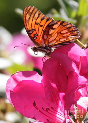 Gulf Fritillary Photograph - Dreaming Of Butterflies And Pink Flowers by Carol Groenen