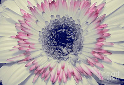 Photograph - Dreamy Gerbera by Jim And Emily Bush
