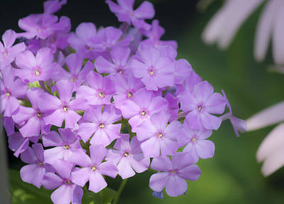 Phlox Paniculata Photograph - Dreamy Lavender Phlox by Teresa Mucha