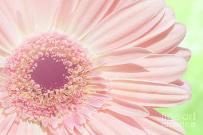 Photograph - Dreamy Pink Gerbera by Jim and Emily Bush