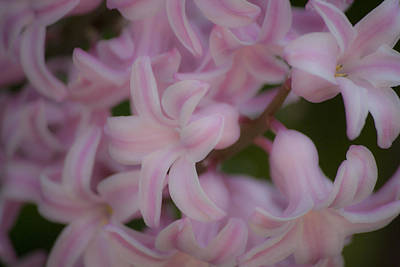 Common Hyacinth Photograph - Dreamy Pink Hyacinths by Teresa Mucha