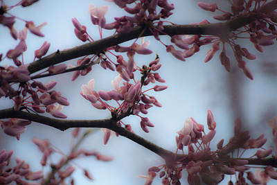 Cercis Canadensis Photograph - Dreamy Redbud  by Teresa Mucha