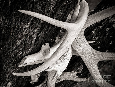 Photograph - Dried Deer Racks by Sherry Davis