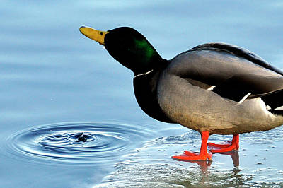 Photograph - Drinking Duck by Joanne Brown