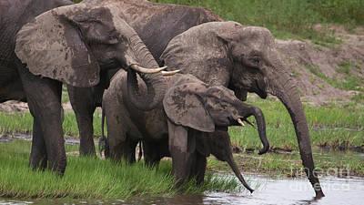 Photograph - Drinking Elephants by Mareko Marciniak