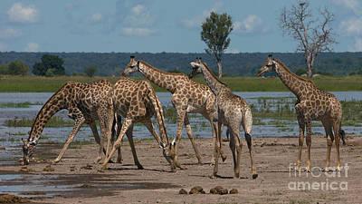 Photograph - Drinking Giraffes by Mareko Marciniak