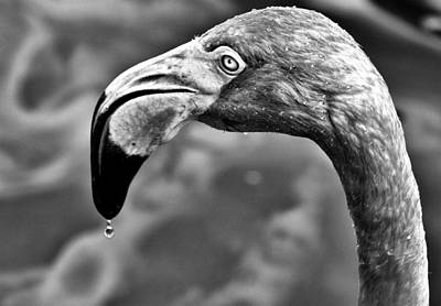 Photograph - Dripping Flamingo - Bw by Christopher Holmes