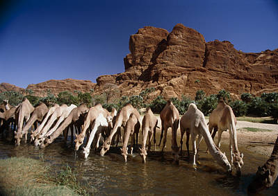 Camel Photograph - Dromedary Camels Drinking by Doug Allan