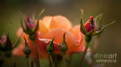 Roses Royalty-Free and Rights-Managed Images - Drops of Orange by Mike Reid