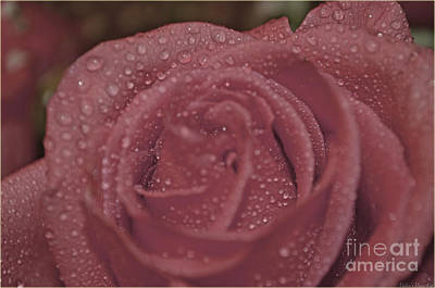 Photograph - Drops On A Pink Rose by Debbie Portwood