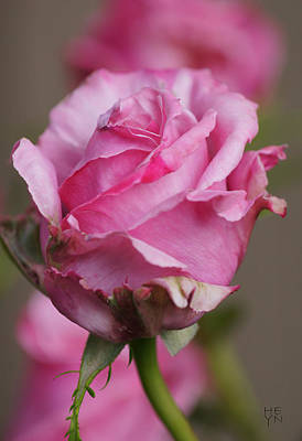 Photograph - Dsc03838 - Pink Rosebud by Shirley Heyn
