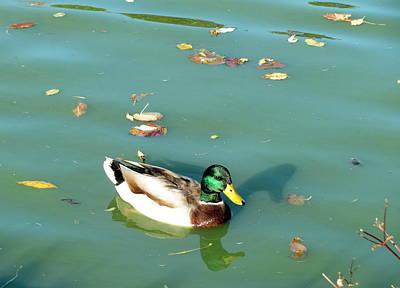 Photograph - Duck 1 by Anita Burgermeister