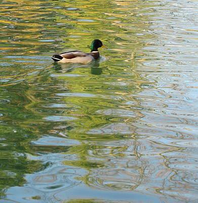 Photograph - Duck 2 by Anita Burgermeister
